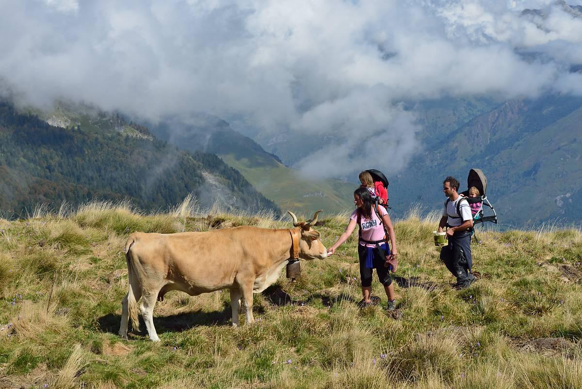 Vaches de race béarnaise en estive, en Vallée d'Ossau, Pyrénées-Atlantiques