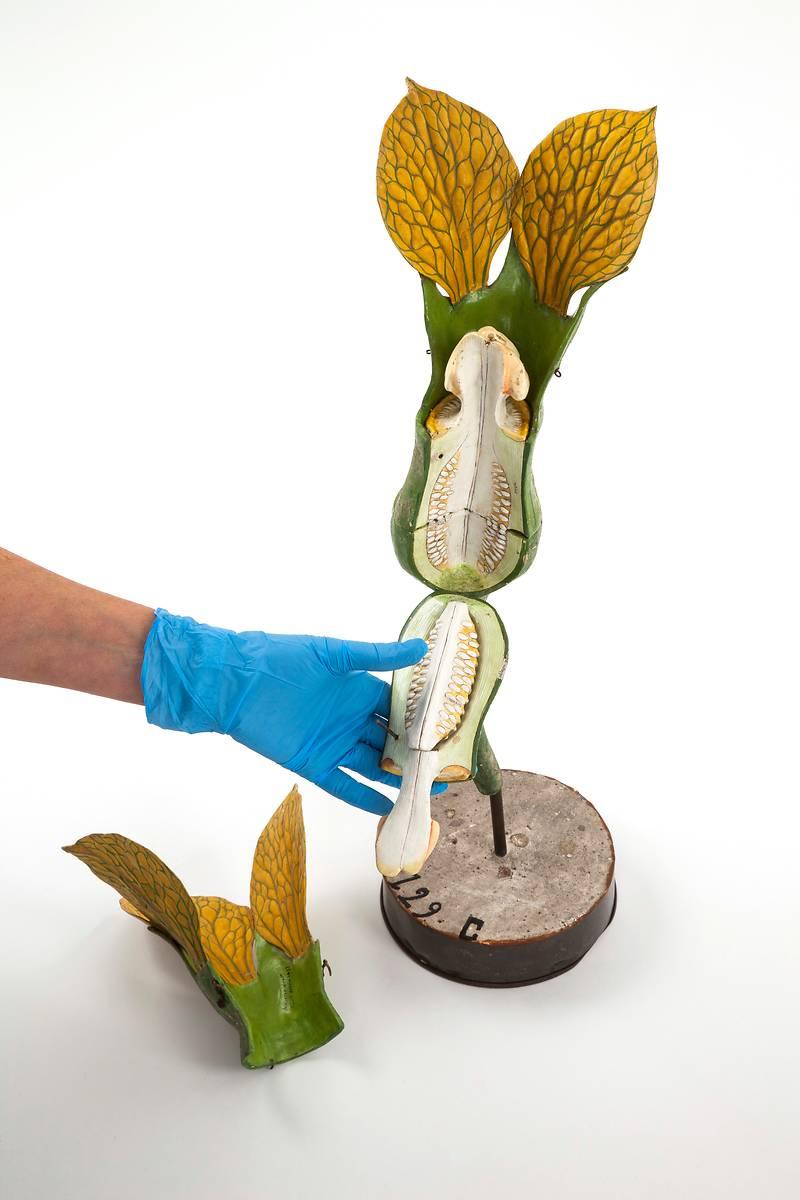 Fleur de melon femelle - Modèle restauré - Etablissements Auzoux - 1877 - Munaé