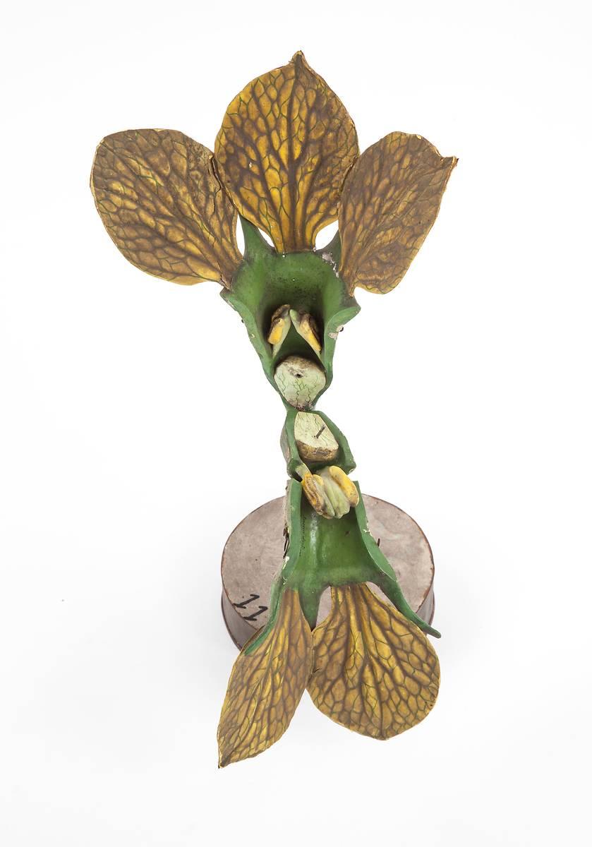 Fleur de melon mâle - Modèle non restauré -Etablissements Auzoux - 1877 - Munaé